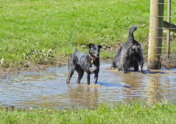Auckland New Zealand Dog Walking Black Labradoodle Dog Friends