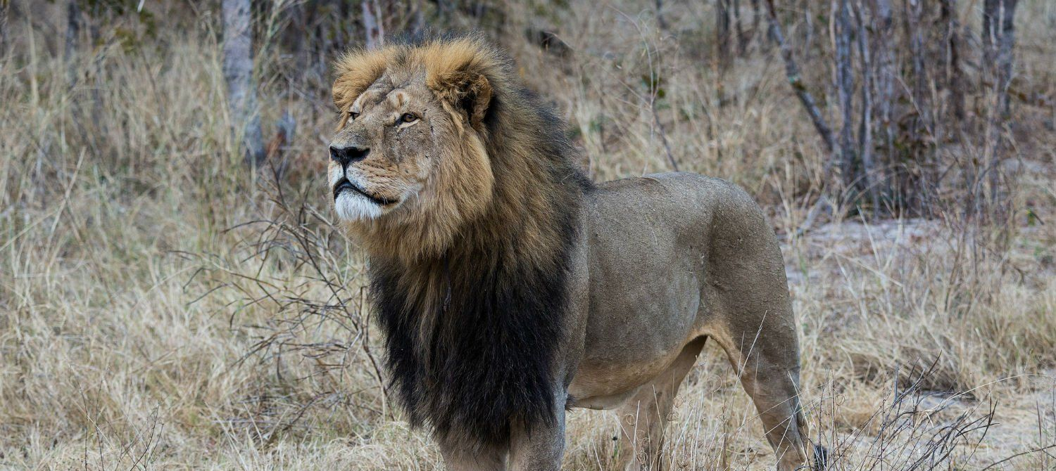 What really killed Cecil the lion?–why it's not one person's fault