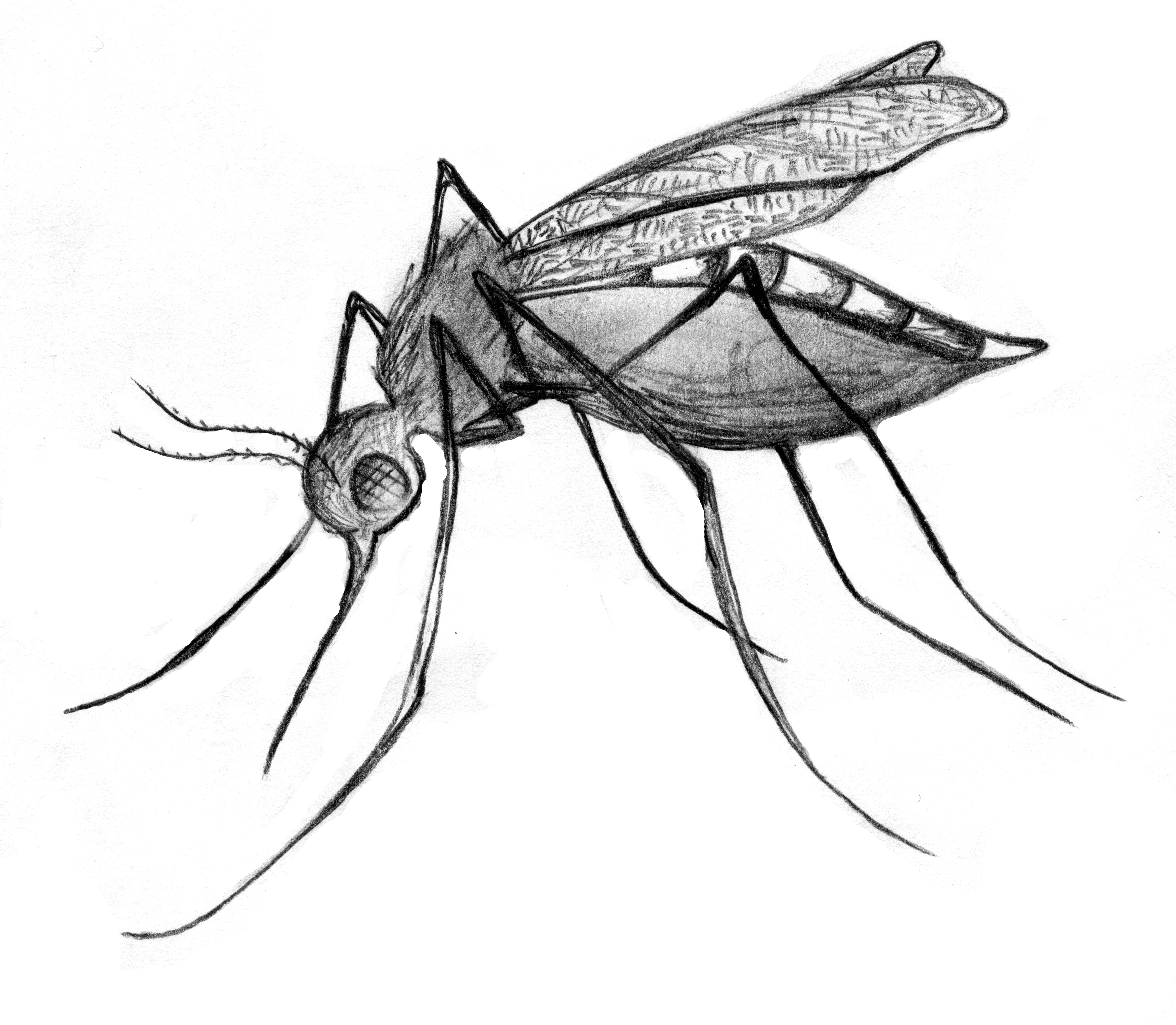 Images For Gt Culex Mosquito Drawing