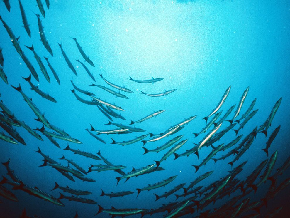 Barracuda Storyboard The Barracuda Is Highly Evolved To Be A