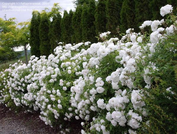 iceberg rose Google Search Rose hedge, Shrub roses