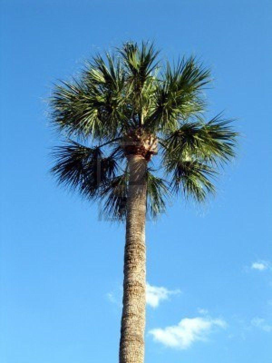 Cabbage Palm Palmetto Tree Florida Florida State