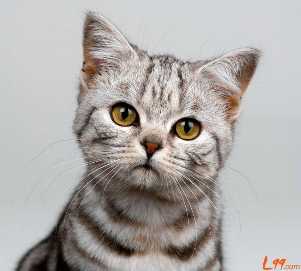 American Shorthair Cat Breeds American Shorthair Cat Tabby Cat