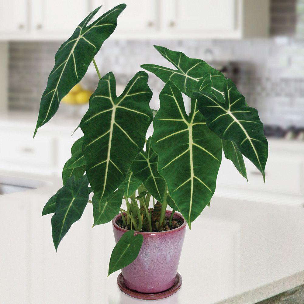 Alocasia 'Frydek' (Alocasia hybrid) Plants, Tropical