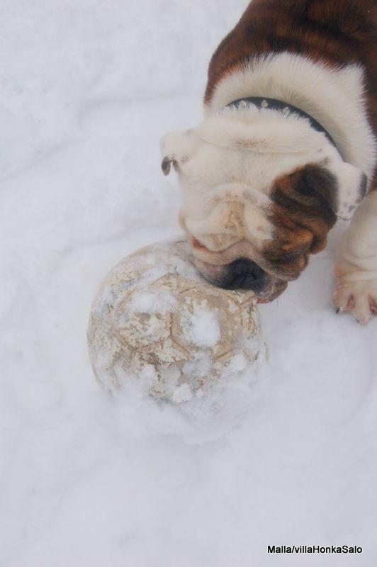 my bull dog charlie does this :)love him <3