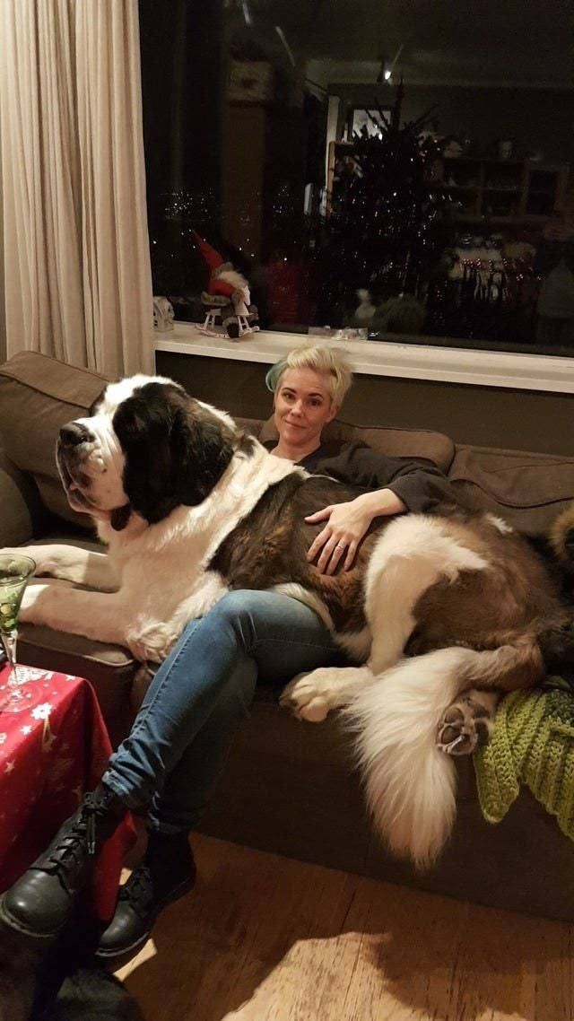 Big Dogs Who Will Forever Be Lapdogs