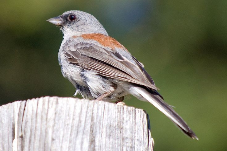 Photo Gallery of All Juncos. Red Backed Junco