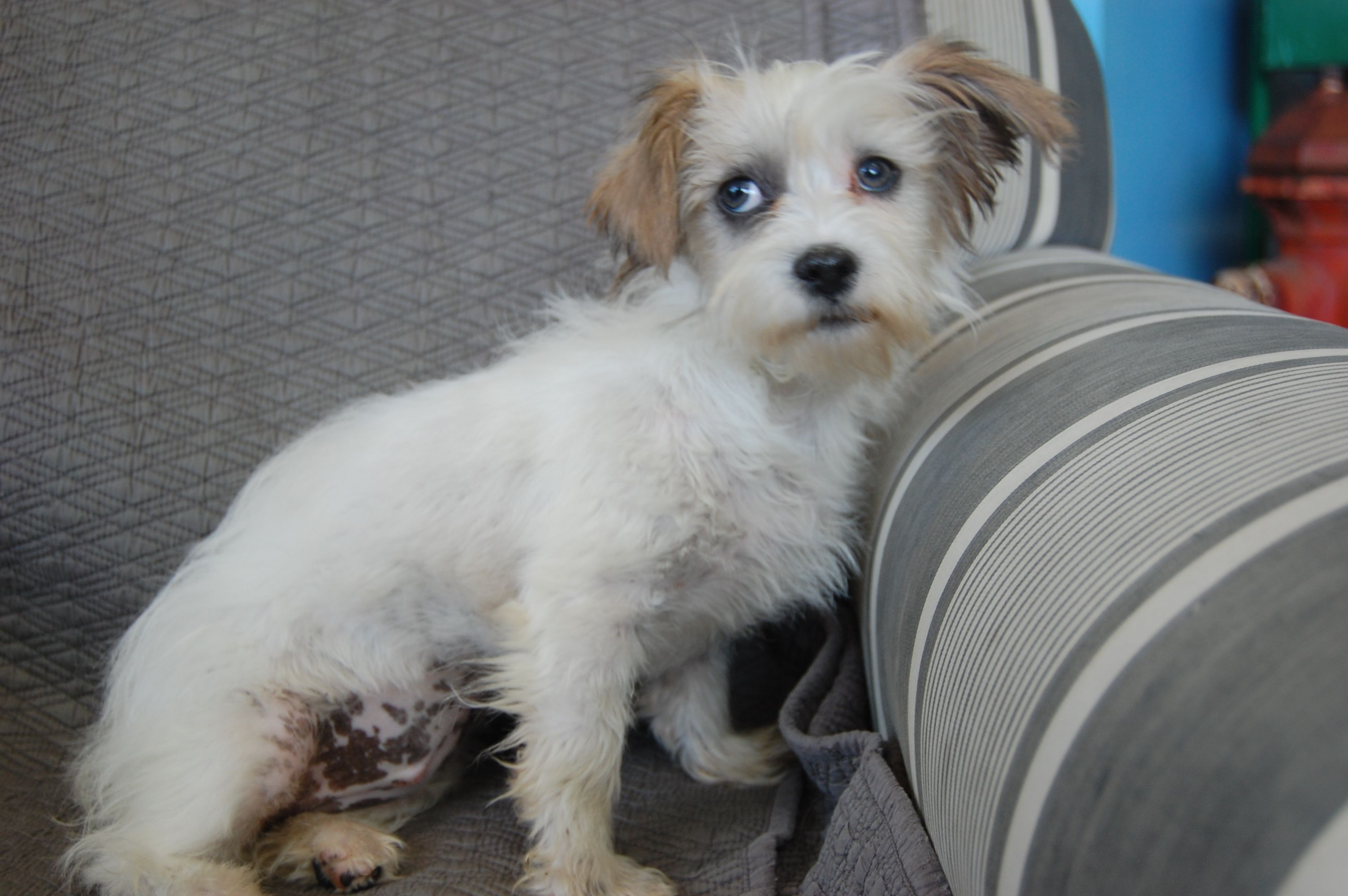 Joanna Terrier Mix (5 Months old) Dog adoption, Rescue