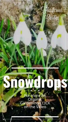Snowdrops,  Snowdrops,