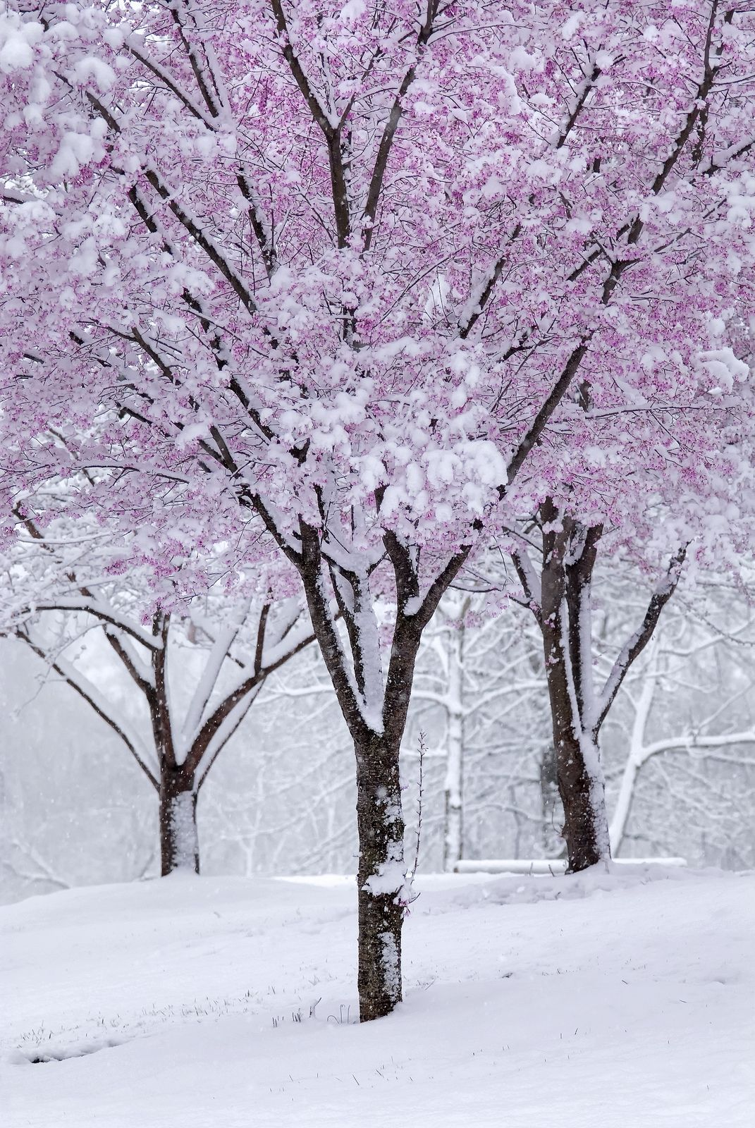 Spring Snow Winter Nature Spring Snow Blossom Trees