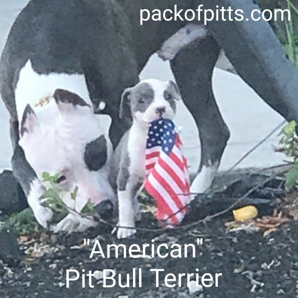 Pack Of Pitts Kennel Of Buffalo New York True American Dog