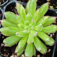 Echeveria 'Spruce Oliver'