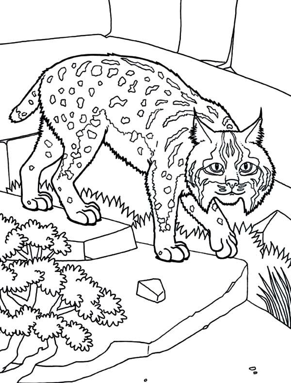 Bobcat As House Pet Coloring Pages Best Place To Color Coloring Pages Pets Animal House