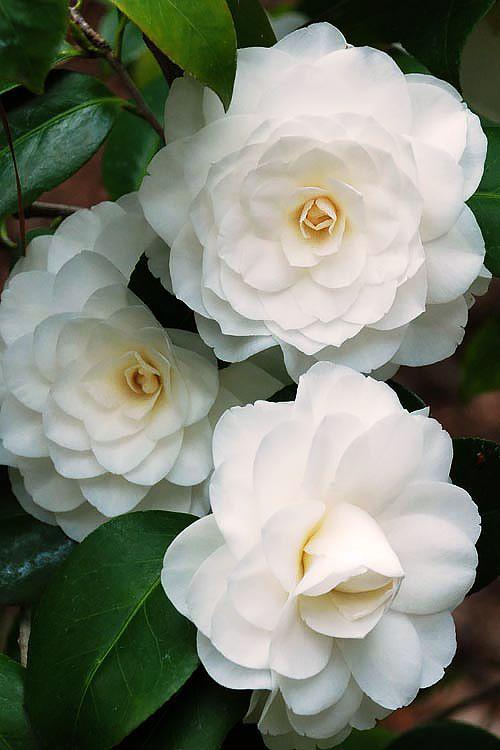 Camellia Japonica White Hakurakuten Shrub In 2020 White Flowering Shrubs Flowering Shrubs Evergreen Flowering Shrubs