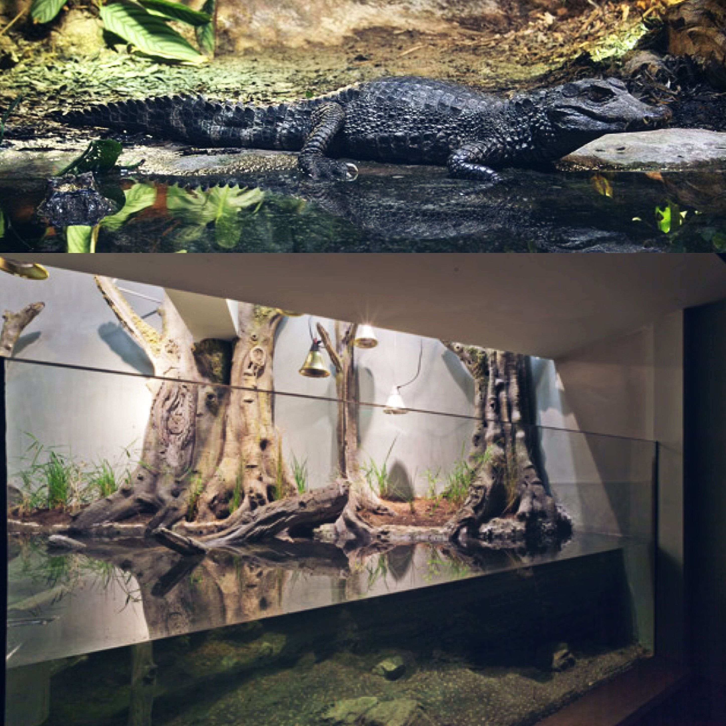 A large in wall concept for a Dwarf Caiman terrarium  | Home