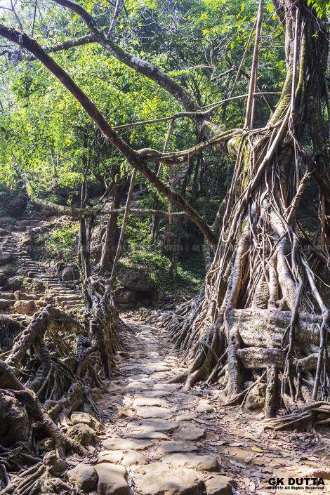 THE LIVING ROOT BRIDGE OF MEGHALAYA