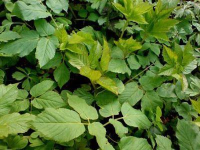 Cuisine sauvage pomme de terre plantes sauvages comestibles pinterest cuisine sauvage - Pomme de terre germee comestible ...