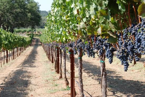 Veeyard Meaning: HEAR ON THE GRAPEVINE/through The Grapevine