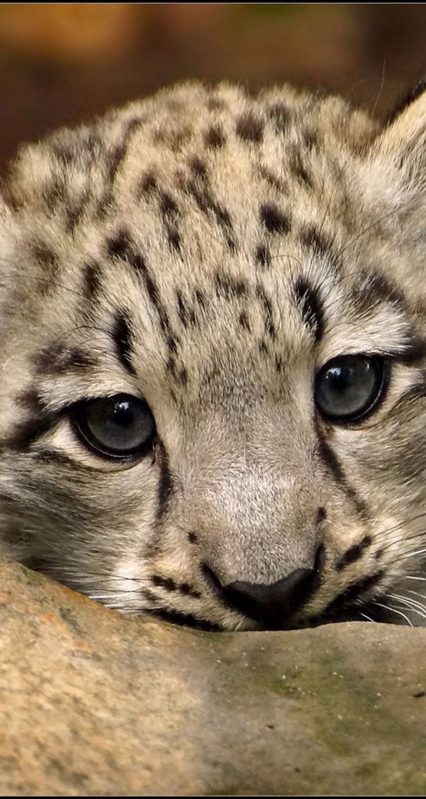 Baby Snow Leopard And Her Pretty Eyes Ios8 Hd Wallpaper For Iphone