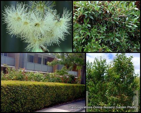 Dwarf Lilly Pilly Hedge X 8 Acmena Smithii Minor Screen Hardy Native Plants Trees 30 00