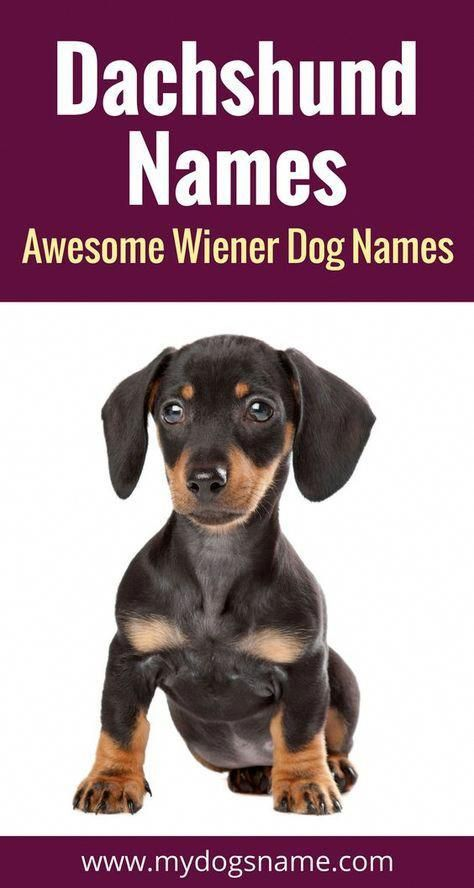 Dachshund Names 150+ Awesome Wiener Dog Names (With