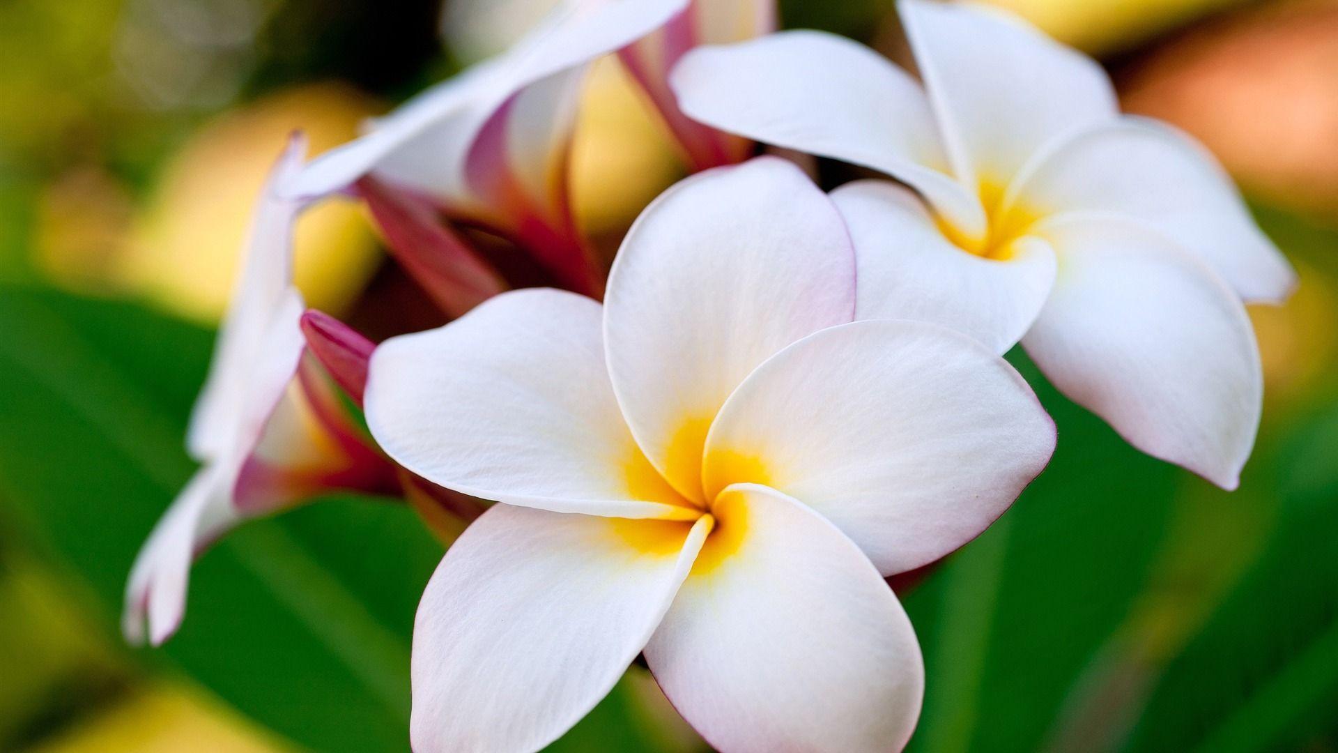 Pin by sjuarez on my ideal garden pinterest hawaiian flowers shite flowers always make me smile mightylinksfo