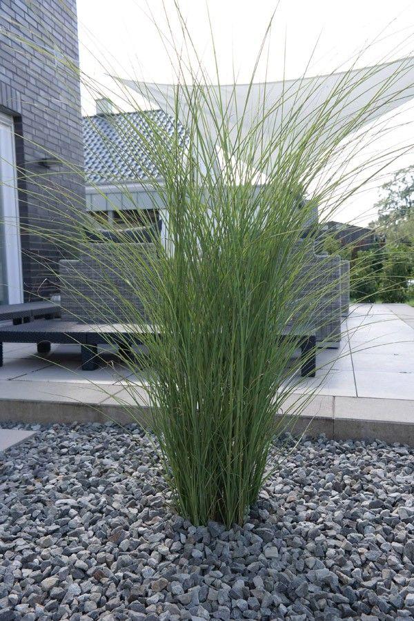 Garten-Chinaschilf Gracilimus - Miscanthus sinensis Gracillimus günstig online kaufen