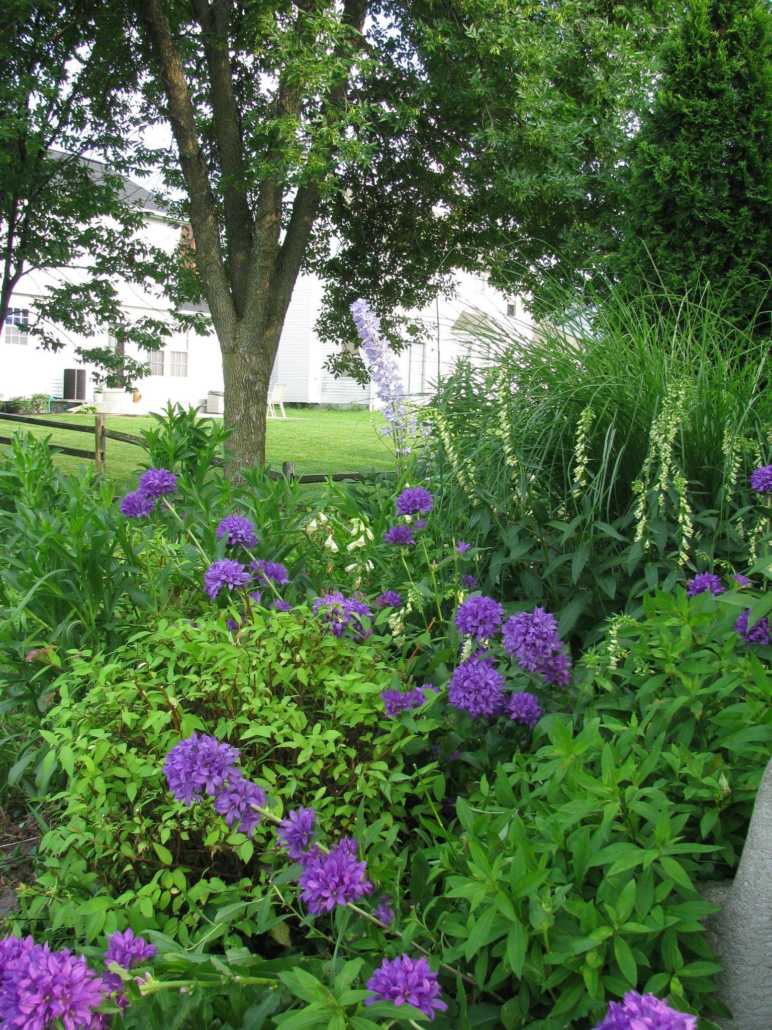 Garden Of Bellflower Cottage Garden Bellflower Garden
