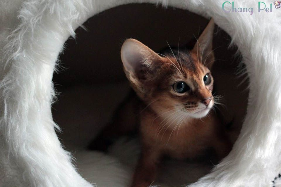 Abyssinian Cat Price