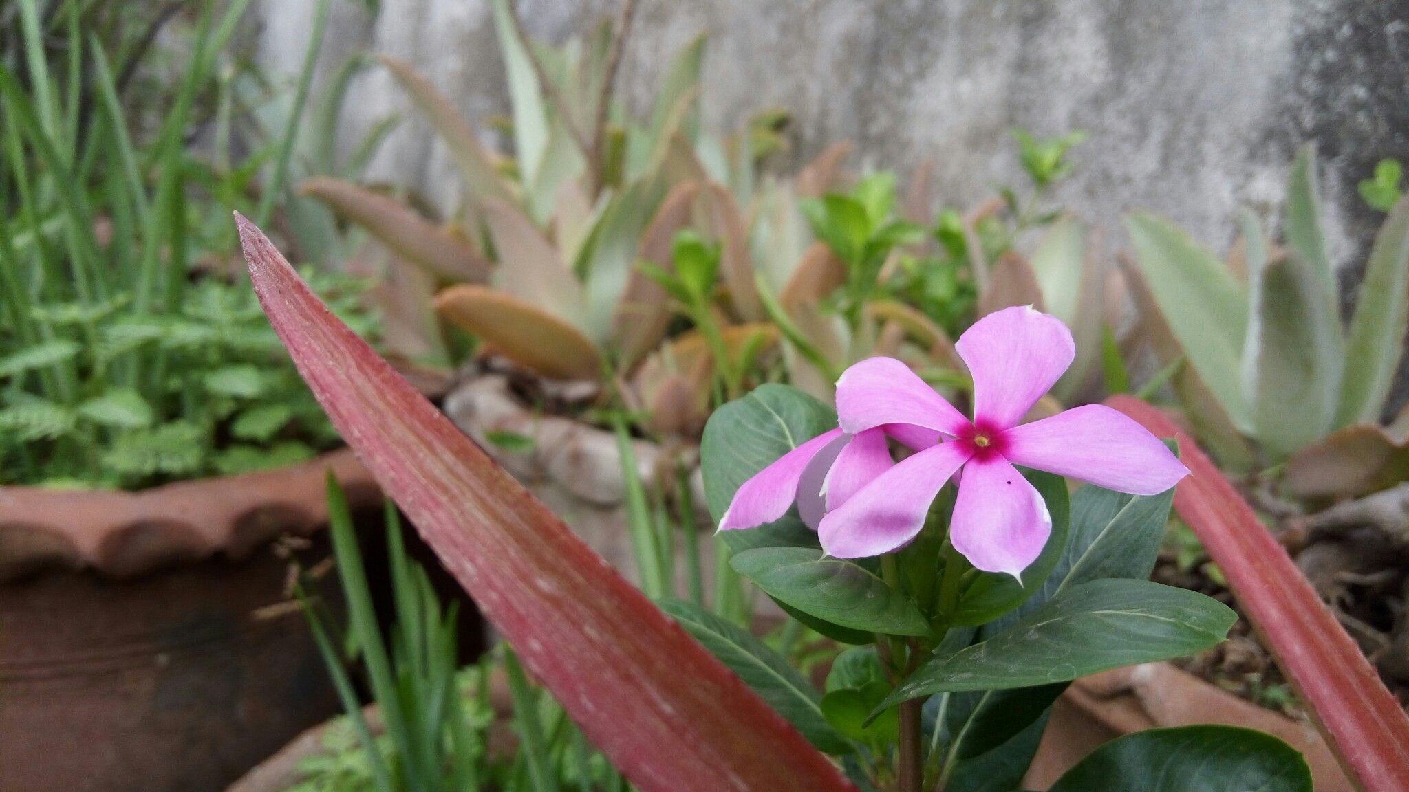 Catharanthus Roseus Madagascar Periwinkle Other English Names Rosy Periwinkle Old Maid In Marathi Language As Per My Knowledge It Flowers Plants Rosie