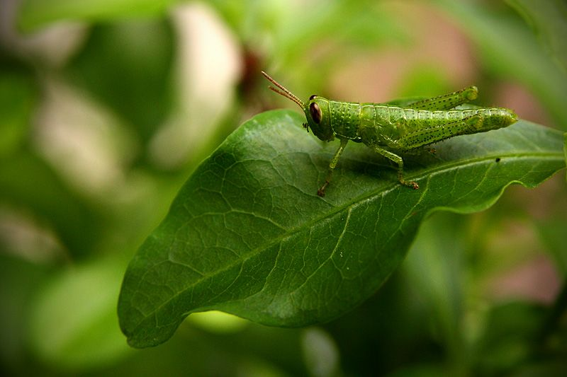 A grasshopper rests on a leaf, nearly blending in with the background colours.