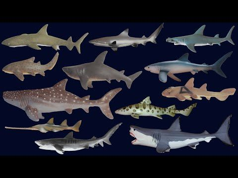 Sharks Animals Series The Kids Picture Show Fun Educational Learning Video Sharks For Kids Shark Picture Show