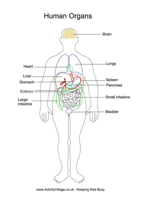 Human Organs Printables Great For Elementary High School Human