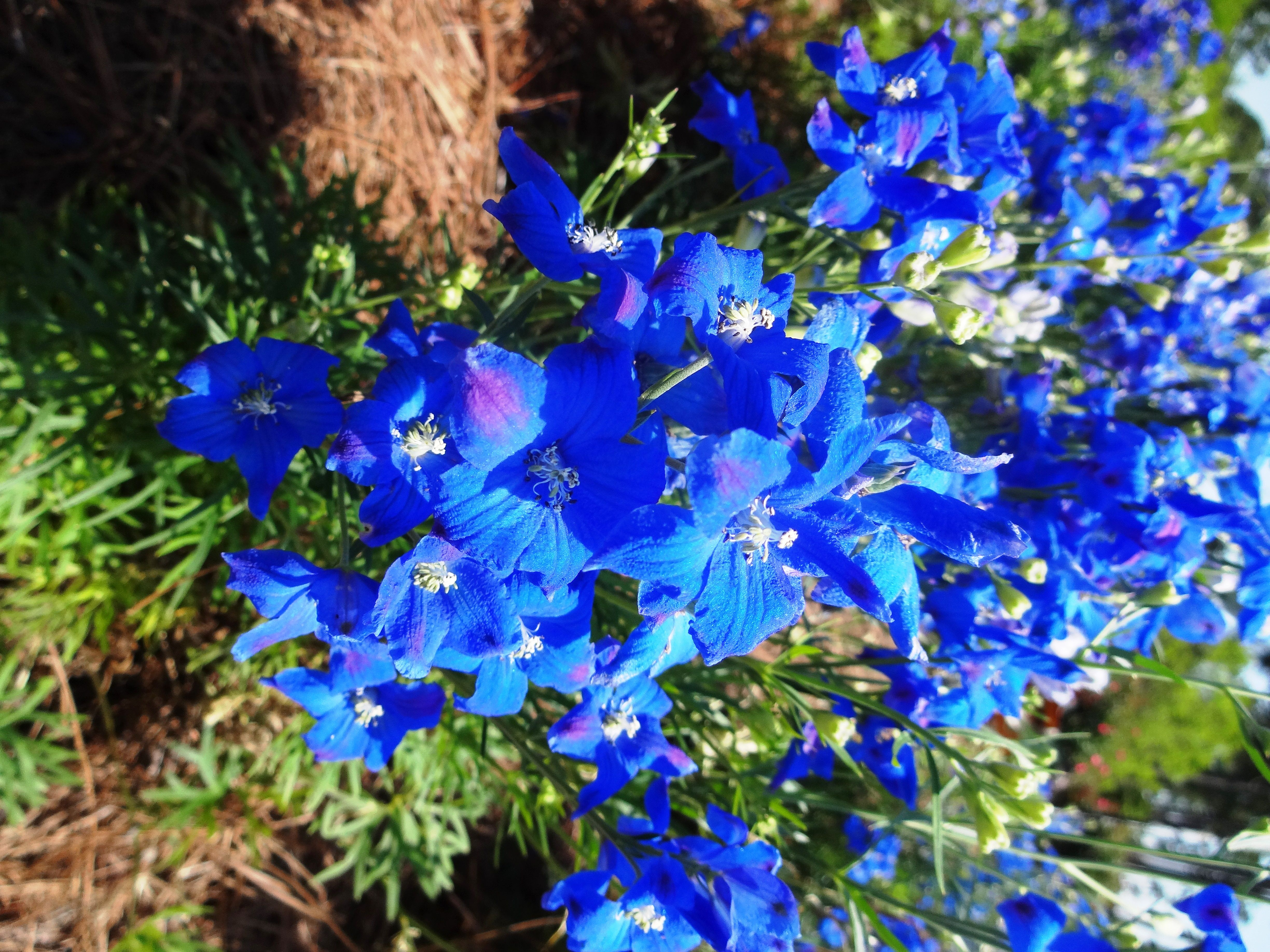 Garden Plants With Blue Flowers Electric Blue Flowers Of Diamonds