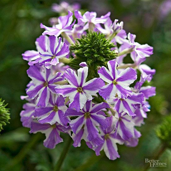 Trailing or clump verbena is a low-spreading form that produces striking blooms from spring through late summer and even to early frost. 'Homestead Purple' has large dark purple flower clusters and is a lovely plant at the front edge of a perennial border. There are numerous cultivars available in pink, red, purple, and white. Name: Verbena canadensis Growing conditions: Full sun Size: 8-18 inches Zone: 6-10
