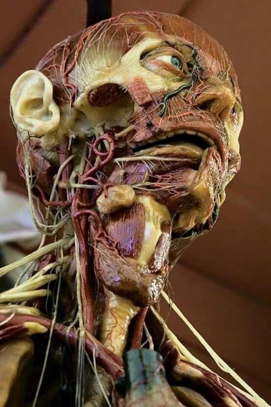 Donor Cadaver Plastination Human Anatomy Pinterest Human