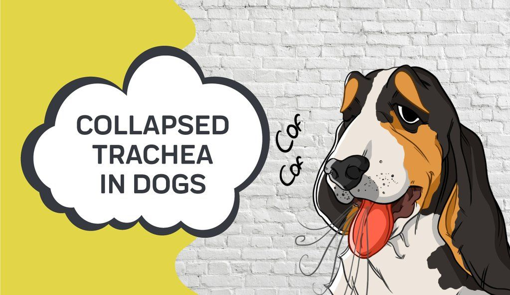 Collapsed trachea in dogs medication for dogs dog