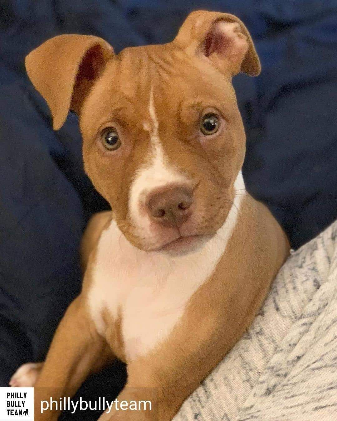 Adopt Venus On Petfinder Pitbulls Pitbull Terrier Pitbull Puppies