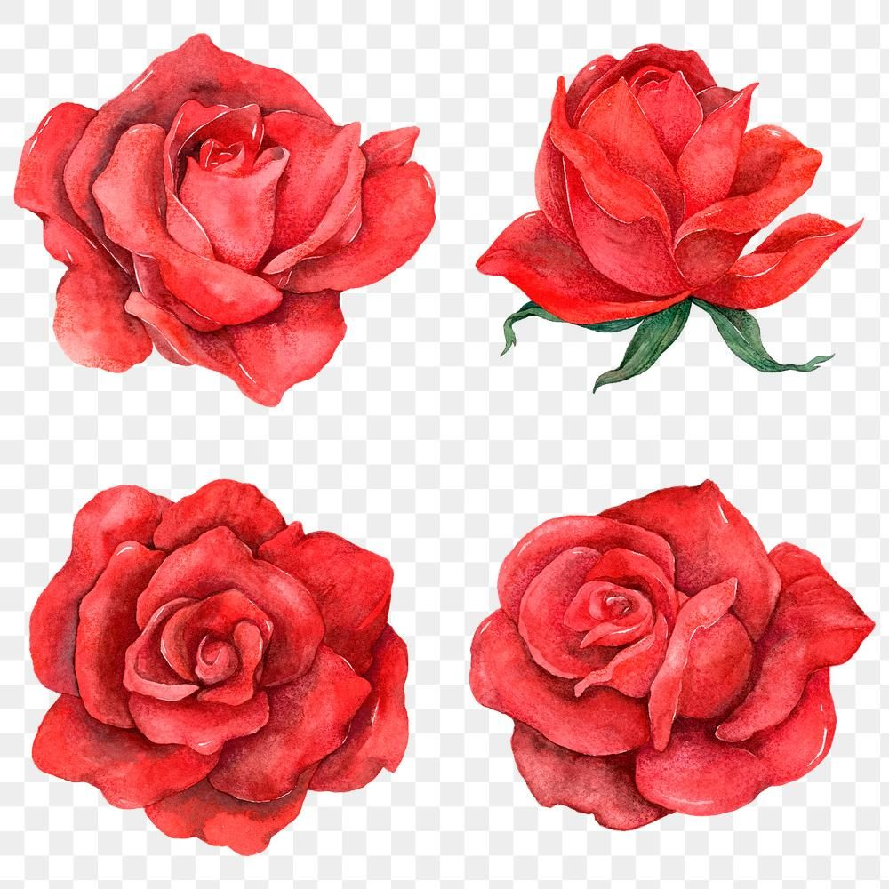 Png Red Rose Clipart Set Free Image By Rawpixel Com Boom Rose Art Drawing Rose Flower Png Rose Clipart