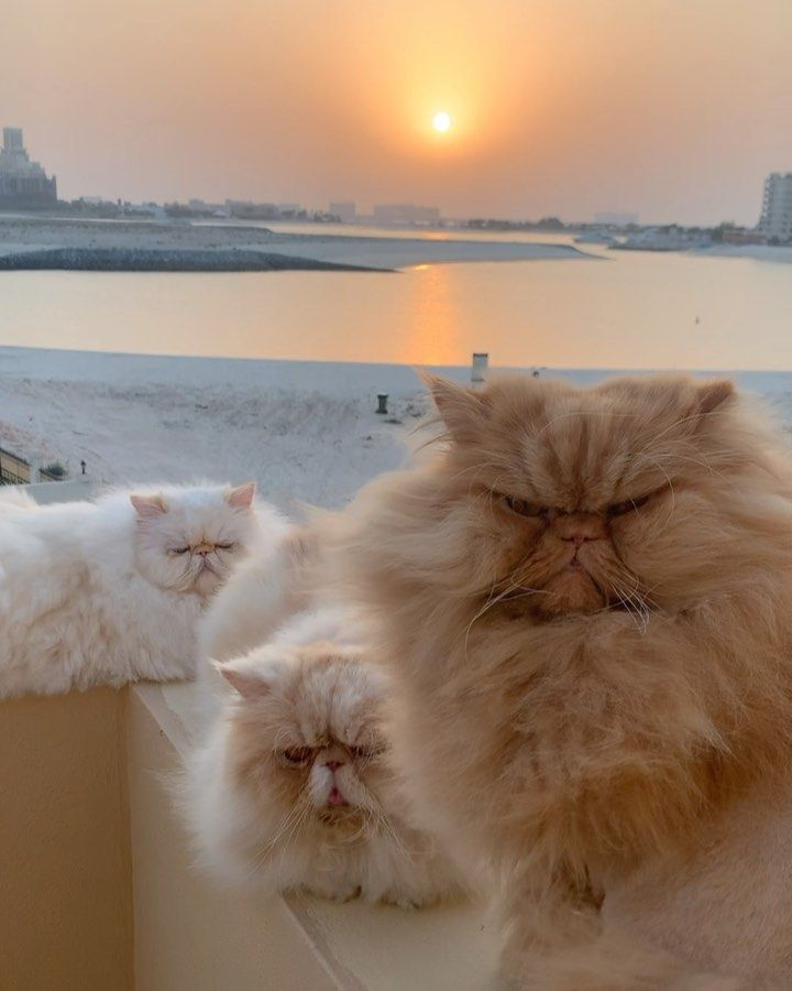 """@thezenkitty on Instagram: """"A meeting of the Little Lion Beach patrol. 🏝🦁😎 . . .  #catsofinstagram #cats_of_instagram #persiancat #persiancatsofinstagram #lionking…"""""""