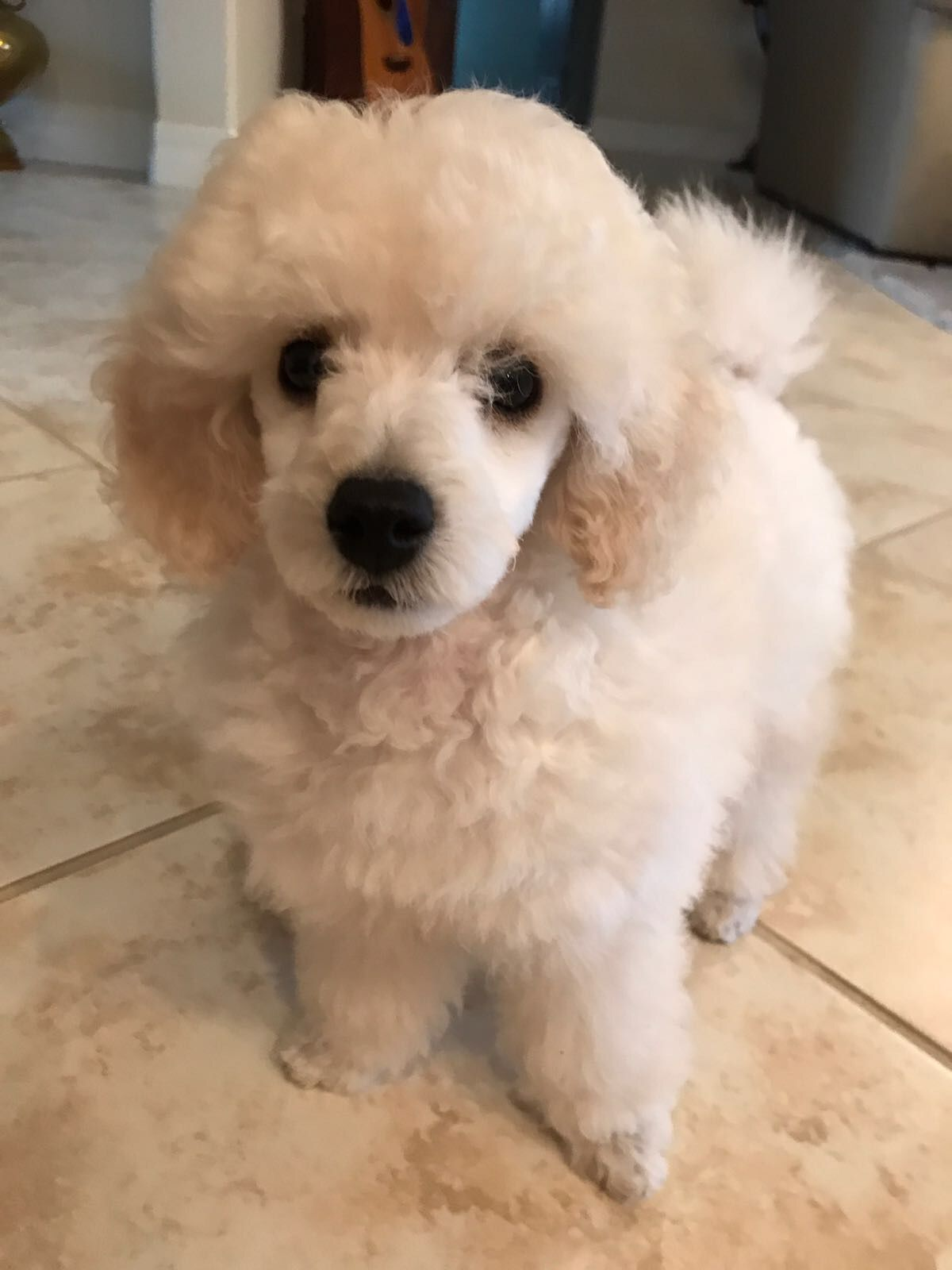 Beautiful Jolie first days home 4/22/17 Dog haircuts