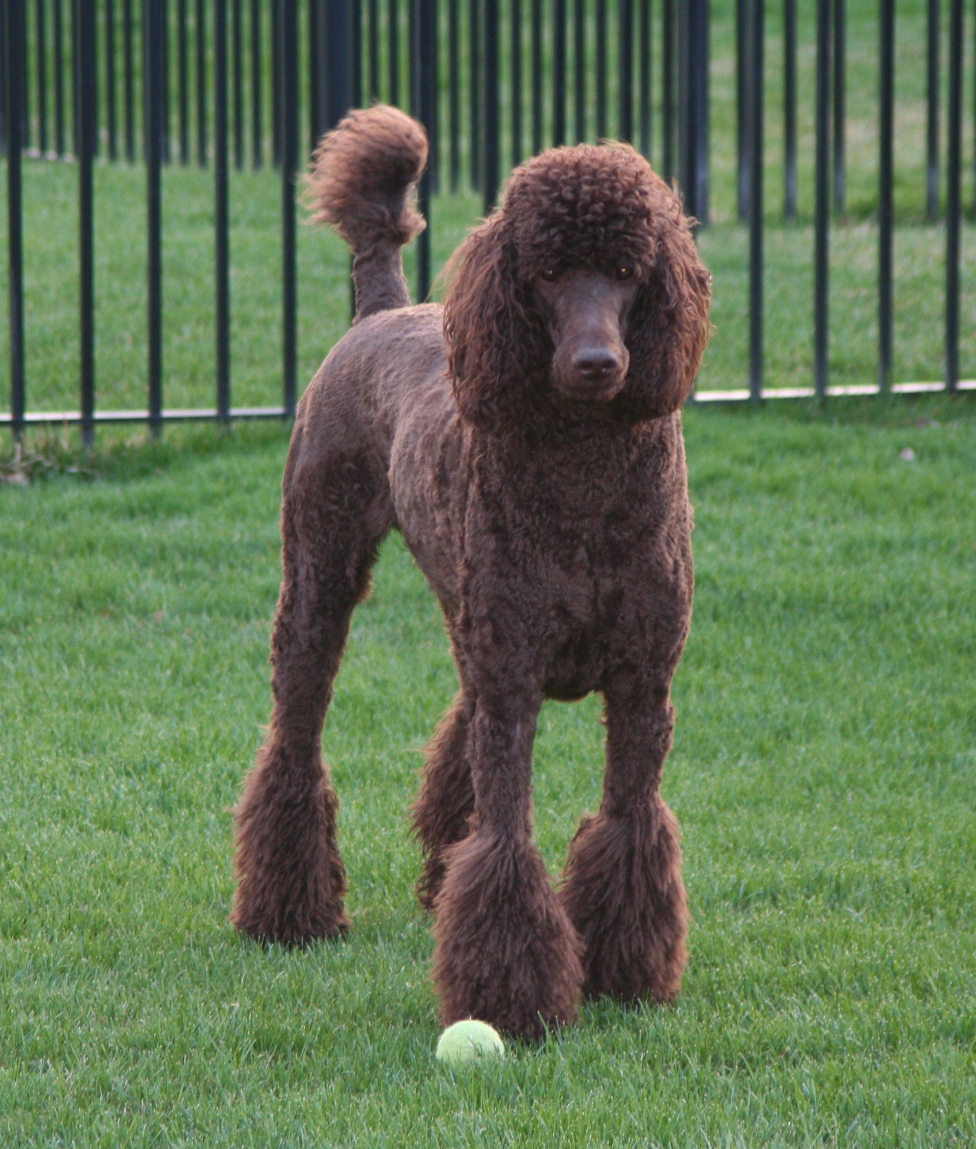 My Chocolate Standard Poodle Riggins Dog Haircuts Standard