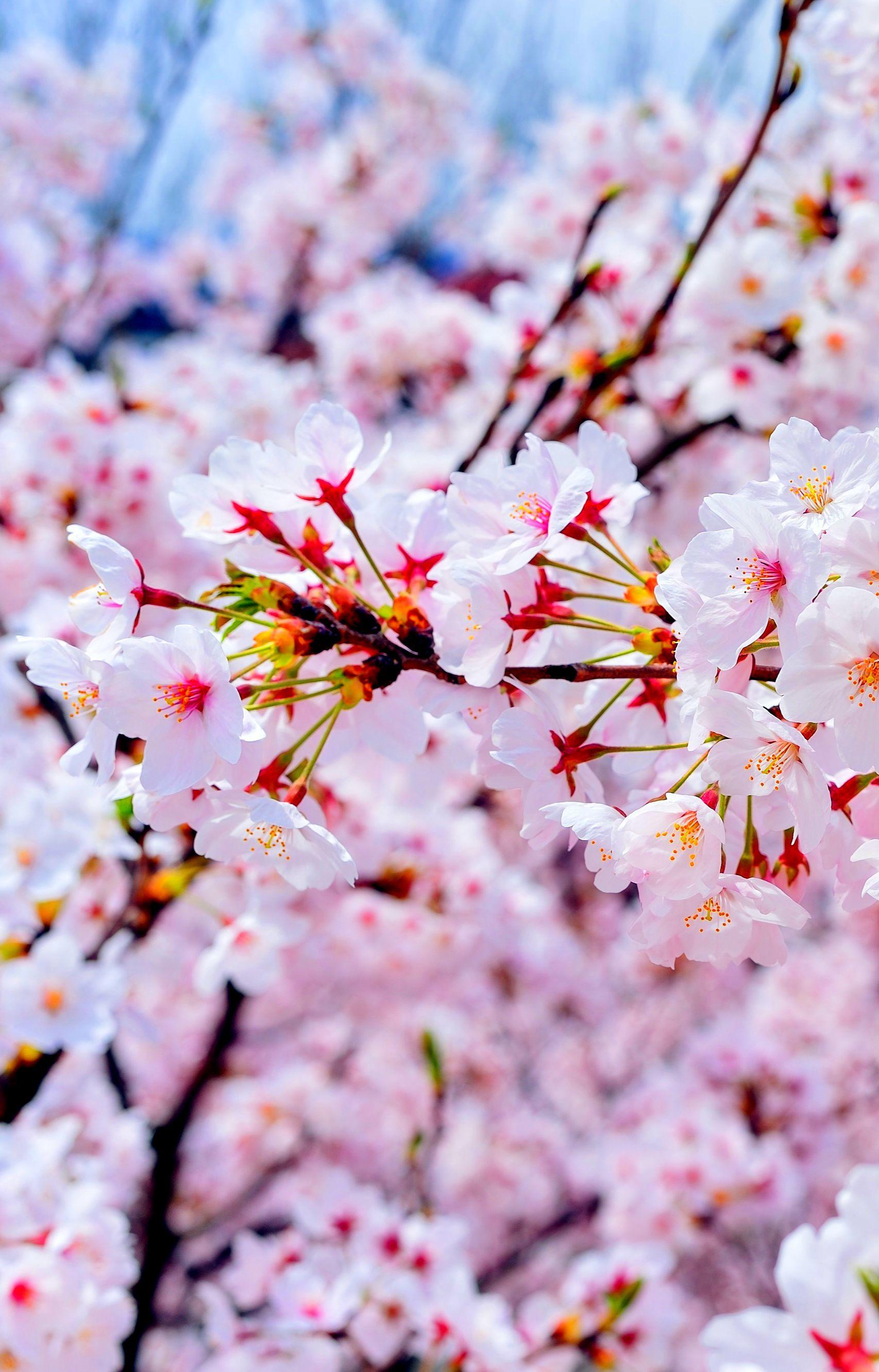Cherry Blossom Kyoto Cherry Blossom Japan Japanese Nature Spring Wallpaper