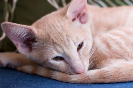 Cat Breeds A Z Cat Breeds Balinese Cat Breeds
