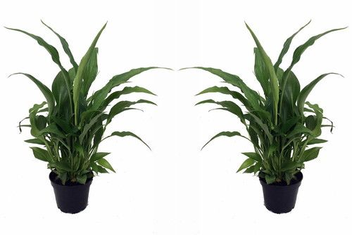 Peace Lily Plant Spathyphyllium Great House 2 Plants 3