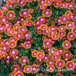 Delosperma Fire Spinner Ice Plant In Late Spring Its Vibrant Tri Colored Flowers Cover The Tight Evergreen Mat Of Succulen Perennials Ice Plant Ground Cover