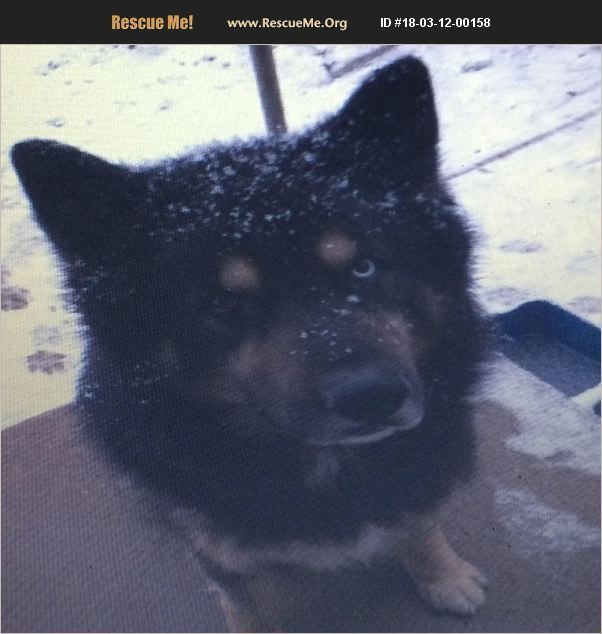 Adopt 18031200158 Siberian Husky Rescue Chattanooga Tn