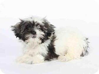 Pictures Of Seth A Shih Tzu Maltese Mix For Adoption In Maryland