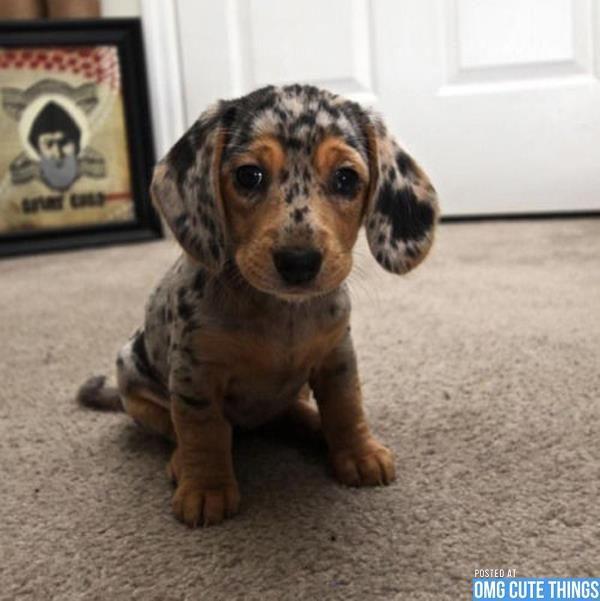 Cutie Puppy I Want A Short Haired Mini Dapple Cute Animals