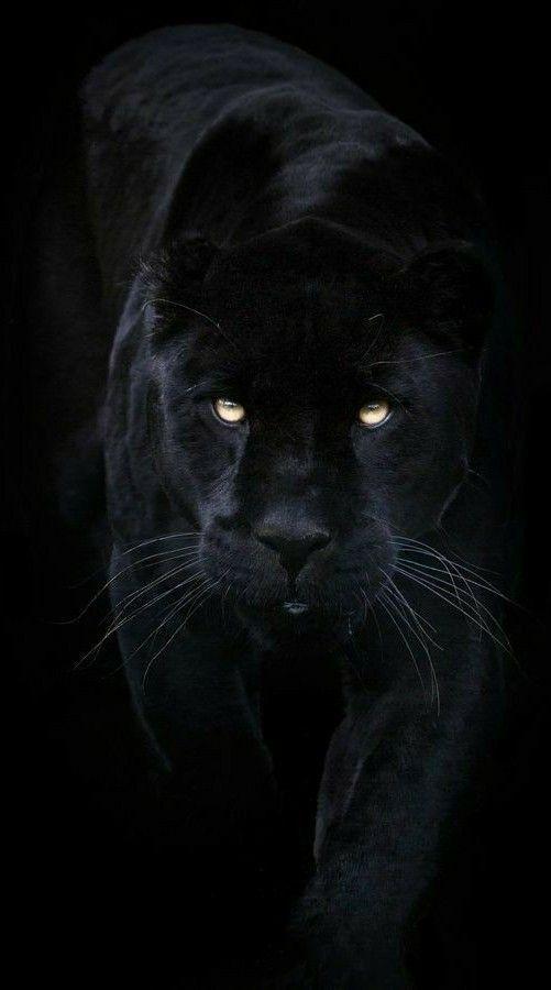 Hd Wallpaper Black Panther Jaguar Animal Black Panther Cat Panther Cat